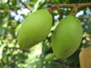 橄榄也治病橄榄的药膳方