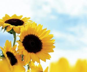 向日葵全身都是宝 降脂美发缓解痛经